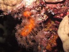 Long polyp orange soft coral at night, Minabea aldersladei, UP3061 Stock Footage