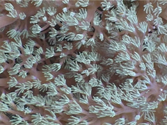 Pale white pink soft coral, Cespitularia sp. Video 3080. Stock Footage