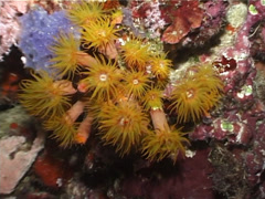 Unidentified common yellow cup corals at night, Tubastrea sp. Video 3081. Stock Footage
