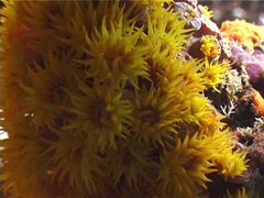 Unidentified common yellow cup corals, Tubastrea sp. Video 3082. Stock Footage