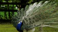 Peacock opens the eye-spotted tail Stock Footage