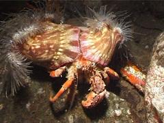 Banded eyestalk hermit crab walking at night, Dardanus pedunculatus, UP3099 Stock Footage