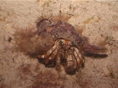 Banded eyestalk hermit crab walking at night, Dardanus pedunculatus, UP3100 Stock Footage