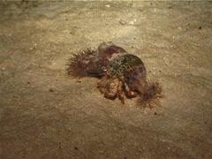 Banded eyestalk hermit crab walking at night, Dardanus pedunculatus, UP3101 Stock Footage