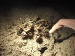 Decorator crab walking at night, Camposcia retusa, UP3107 Stock Footage