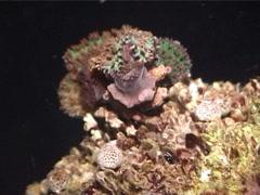 Decorator crab walking at night, Cyclocoeloma tuberculata, UP3112 Stock Footage