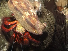 Giant orange hermit crab walking at night, Dardanus megistos, UP3118 Stock Footage