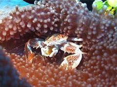 Porcelain crab feeding, Neopetrolisthes oshimai, UP3130 Stock Footage