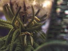 Elegant squat lobster, Allogalathea elegans, UP3140 Stock Footage