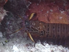 Peacock smasher mantis shrimp walking, Odontodactylus scyllarus, UP3155 Stock Footage
