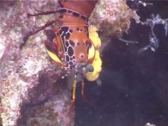 Peacock smasher mantis shrimp, Odontodactylus scyllarus, UP3165 Stock Footage
