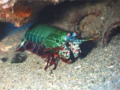 Peacock smasher mantis shrimp, Odontodactylus scyllarus, UP3167 Stock Footage