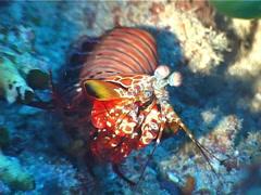 Peacock smasher mantis shrimp walking, Odontodactylus scyllarus, UP3173 Stock Footage