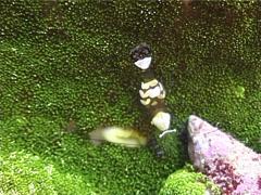 Adhesive anemone walking, Cryptodendrum adhaesivum, UP3176 Stock Footage