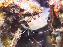 Boxer cleaner shrimp, Stenopus hispidus, UP3182 Stock Footage
