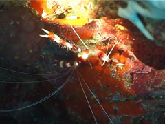 Boxer cleaner shrimp, Stenopus hispidus, UP3183 Stock Footage