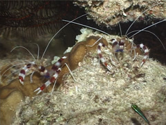 Boxer cleaner shrimp walking at night, Stenopus hispidus, UP3189 Stock Footage