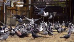 Flock of pigeons eat Stock Footage