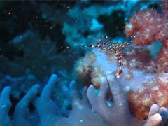 Jelly cleaner shrimp feeding, Urocaridella antonbrunii, UP3199 Stock Footage