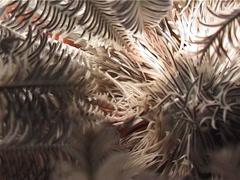 Variable crinoid shrimp walking, Periclimenes amboinensis, UP3201 Stock Footage