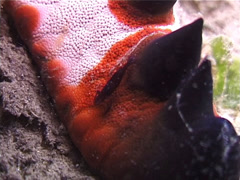 Starfish shrimp, Periclimenes soror, UP3222 Stock Footage