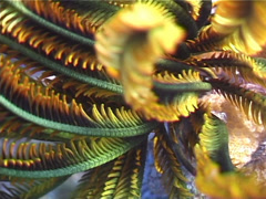 Elegant squat lobster, Allogalathea elegans, UP3225 Stock Footage
