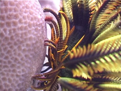 Elegant squat lobster, Allogalathea elegans, UP3226 Stock Footage
