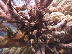 Mottled crinoid feeding, Oligometra serripinna, UP3232 Stock Footage