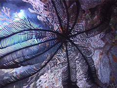 Black feather star, Colobometra perspinosa, UP3236 Stock Footage