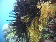 Beautiful feather star, Cenometra bella, UP3237 Stock Footage