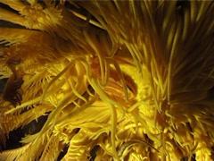 Crinoid clingfish, Discotrema crinophilum, UP3261 Stock Footage