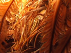 Bennett's rainbow crinoid at night, Oxycomanthus bennetti, UP3264 Stock Footage