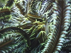 Bennett's rainbow crinoid, Oxycomanthus bennetti, UP3269 Stock Footage