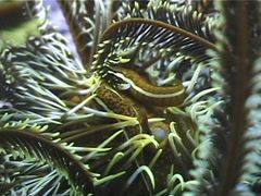 Bennett's rainbow crinoid, Oxycomanthus bennetti, UP3270 Stock Footage