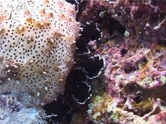 Black tentacle sea cucumber feeding, Bohadschia graeffei, UP3280 Stock Footage