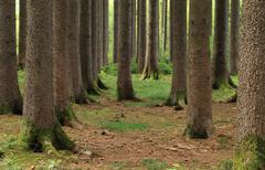 mighty trees in the forest - stock photo