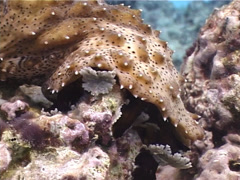 Black tentacle sea cucumber feeding, Bohadschia graeffei, UP3284 Stock Footage
