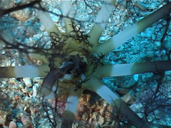 Brown band anemone-like sea cuccumber feeding, Neothyonidium magnum, UP3297 Stock Footage