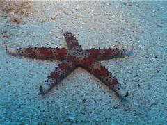 Red band white spot sea star walking, Gomphia gomphia, UP3310 Stock Footage