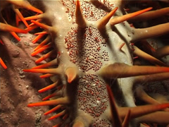 Crown of thorns starfish at night, Acanthaster planci, UP3316 Stock Footage