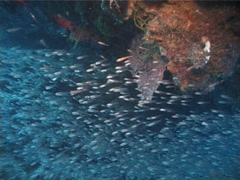 Slender cardinalfish schooling and schooling in cavern, Rhabdamia gracilis, Stock Footage