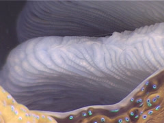 Giant clam, Tridacna gigas, UP3365 Stock Footage