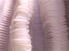 Giant clam, Tridacna gigas, UP3369 Stock Footage