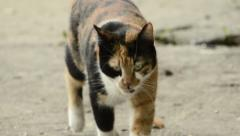 Stray multicolor cat walks towards camera - stock footage