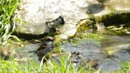 Noisy sparrows bathing Stock Footage
