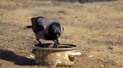 Hooded crow feeding from a pan Stock Footage