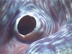 Giant clam, Tridacna maxima, UP3377 Stock Footage