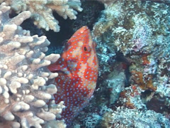 Fish | Wrasses | Cleaner Wrasse | Symbiotic Relationship | Cleaning & Being Stock Footage