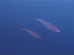 Reef squid swimming and schooling, Sepioteuthis lessoniana, UP3408 Stock Footage