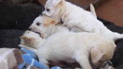 Poohuahua Puppies Wrestling - stock footage